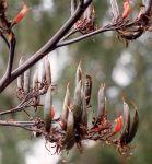 Tukura: seed pods and flowers