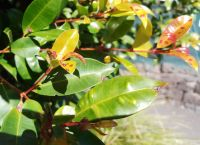 Lilly pilly infected with myrtle rust