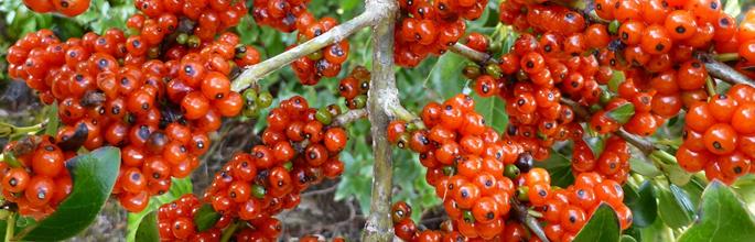 <em>Coprosma robusta</em> (glossy karamu). Timber Trail, Pureora Forest Park, North Island. © Murray Dawson