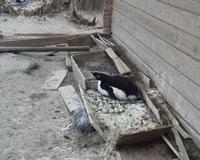 penguin_nesting_borscheviks_hut_200