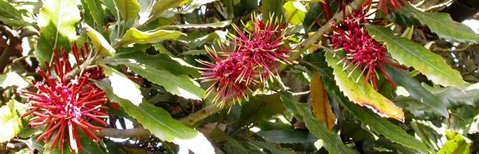 New Zealand Honeysuckle (<em>Knightia excelsa</em>). Image - E Stewart
