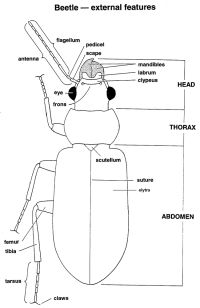 Beetle - external features