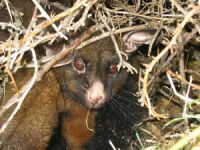 Possum sheltering in a briar shrub on Molesworth Station