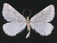 Tussock grassland moth