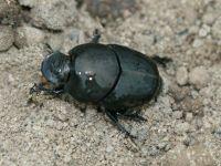 <em>Onthophagus binodis</em>