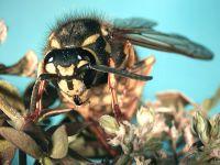 German wasp (Vespula germanica)