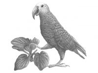 Chatham Islands parrot.