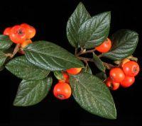 <em>Cotoneaster franchetii</em>.