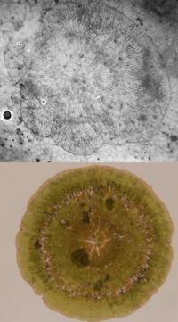 Fossil <em>Phycopeltis</em> (upper) and <em>P. novae-zelandiae</em> (lower).