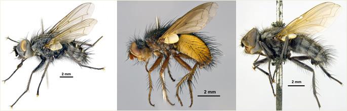 Tachinidae banner