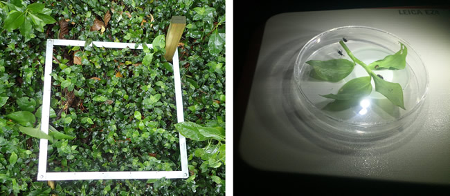 Marked area of Tradescantia (left) and tradescantia and biocontrol beetles in petri dish (right)