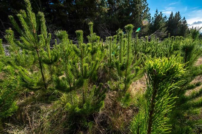 Wilding conifers