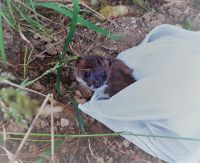 Collared stoat being released into the wild. Image: Pablo Garcia-Diaz