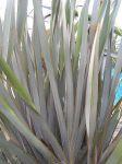 Matawai Taniwha: leaves