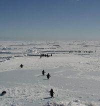 Adelies walking on sea ice. Image - Kerry Barton