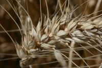 Wheat. Image - Tom Fraser