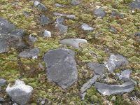 Lush moss at Cape Hallett, Antarctica