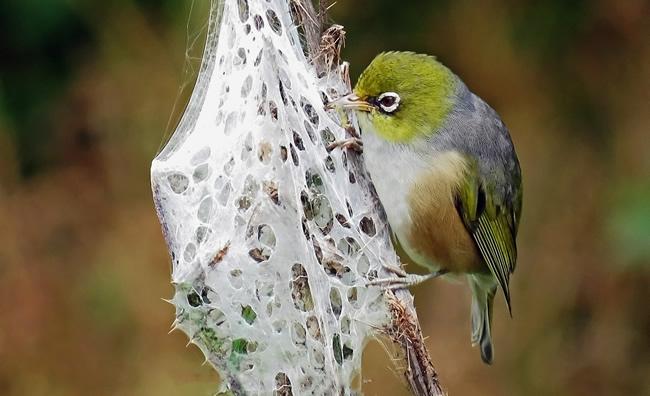 Silvereye feeding on a spider's nest / BJ Hunter, Landscape Artist NZ