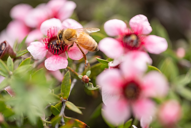 Honey bee collecting pollen from a mānuka flower