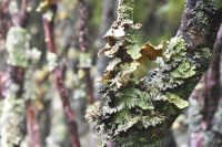 Pseudocyphellaria coronata and Pseudocyphellaria sp.