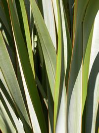 Tāpoto leaves