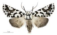 Moth - Declana nivea