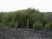 Torehape mine restoration, Hauraki Plains. Photo: B. Clarkson.