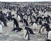 Cape Adare Adelie penguin colony. Image - Kerry Barton