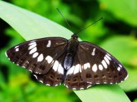 One of the Honshu white admiral butterflies recently released in the Waikato