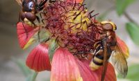 Volucenna zonaria feeding on a flower