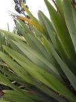 Awahou: leaves