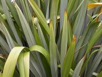 Maeneene leaves