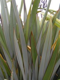 Tukura leaves