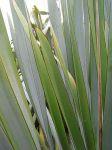 Tapamangu: leaves