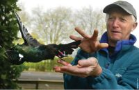 John Innes releasing a tūī equipped with coloured leg-bands and a transmitter glued to its tail at Cambride. Image Waikato Times.