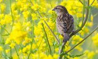 The house sparrow has been the most common species found in gardens across the country.