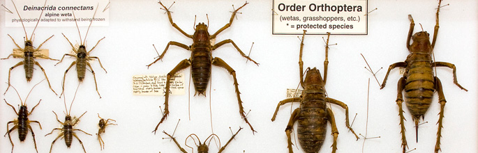 Weta and grasshoppers