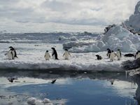 Penguins floating on pack ice. Image - Kerry Barton