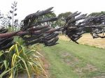 Taeore, Taiore: seed pods