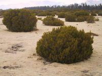 Strongly leached terraces and plains with bog pine (<em>Halocarpus bidwillii</em>) heathland at The Wilderness Scientific Reserve, Southland (Sarah Richardson)