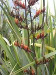 Tāpoto: flowers and seed pods