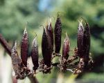 Tārere: seed pods