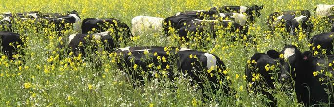 Heifers grazing soil primer mix to help kick-start soil health