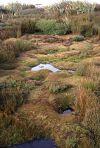 Blanket bog cushions of <em>Donatia novae–zelandiae</em> at Awarua Bog, Southland (Bev Clarkson)