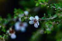 Flowering mānuka