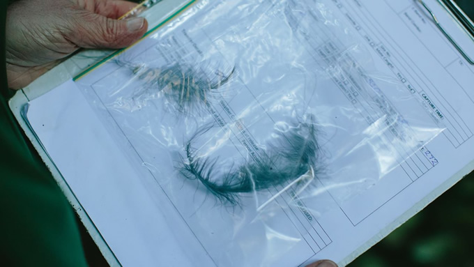 Feather samples collected to be sent away for DNA analysis and genetic idendification.