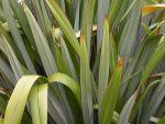 Māeneene: leaves