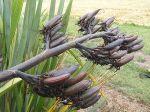 Atarau: seed pods