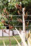 Parekoritawa: seed pods