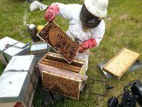 Beekeeper examining comb. Image - Linda Newstrom-Lloyd
